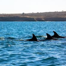There are many dolphins in hengam island