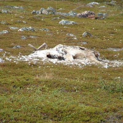 Decaying reindeer, Finnmark