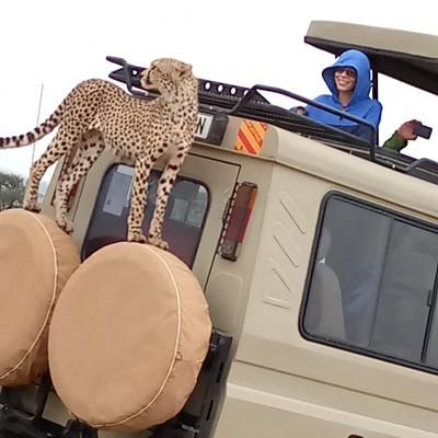 Cheater in Serengeti national Park climbing safari car